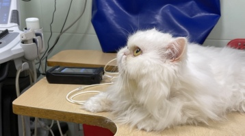 Гипертензия у кошек